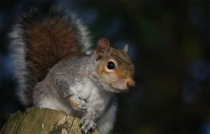 Grey squirrel being curious by DAZZY-P