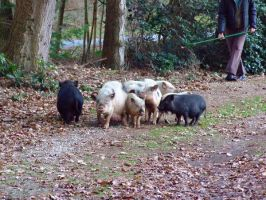 more pigs by inbalance