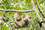 Brown-throated Sloth by CBasco