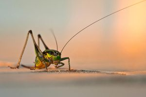 Grasshopper by NickKoutoulas