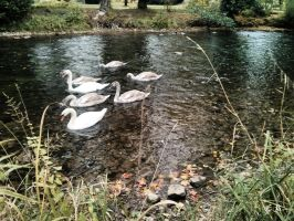 Aach_Swans and Ducks by Anonymman
