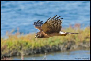 Bolsa Chica Harrier by AirshowDave