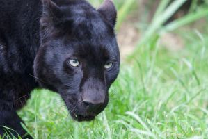 Black Leopard by Loves2dive