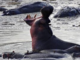 Hippo Roaring by Track-Maidens