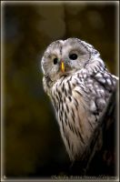 Owl in the evening by brijome