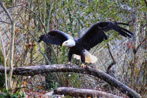 Bald Eagle by WiccanWT