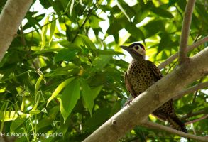 Brazilian woodpecker by HenriqueAMagioli