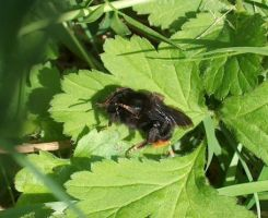 Bombus lapidarius by biggyp