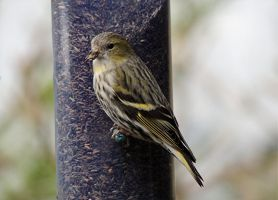 The Beautiful Siskin by taramara
