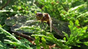 dragonfly. pic 14 by Nipntuck3
