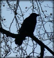 The Resting Crow by Estruda