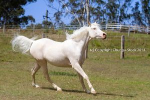 KR Arabian side view canter head up mane toss by Chunga-Stock
