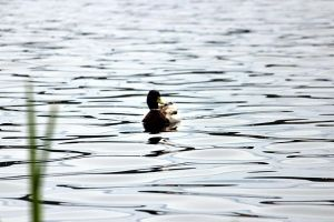 lonely duck by Abbiee1211