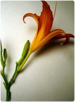 A Lily 3 by sync29