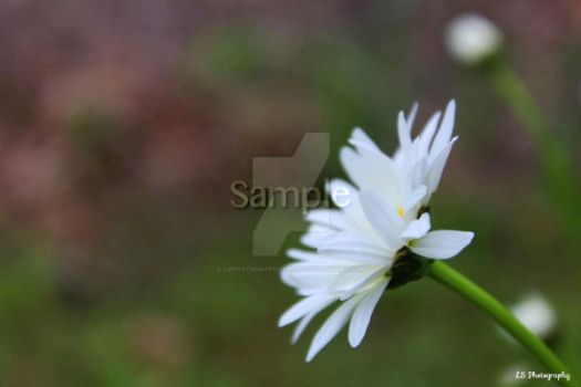 Side Daisy by LSPhotographyStore