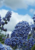 Blue Flower by xCoyote