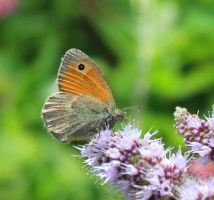 Coenonympha pamphilus by Selena890