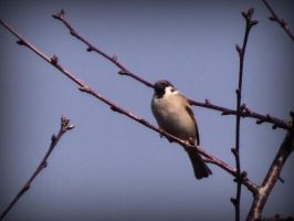 Sparrow on the branch by danamis