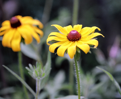 Black-Eyed Susan - 1 by Ammoniite