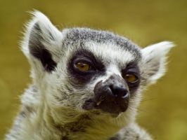 Ring Tailed Lemur 04 - July 11 by mszafran