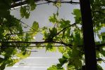 Vines - stock by catloverstock