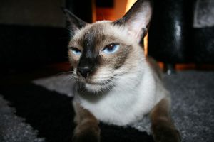 My Siamesee Cat,, by belial666