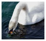 Mute Swan by jamesjr2