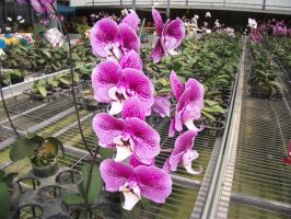 Orchids by EveryTheyKitty