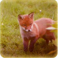 Fox cub by toffie-tiger