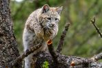 Flyin Bobcat by White-Voodoo