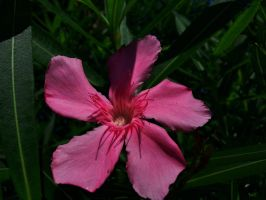 Single Oleander Flower by Matthew-Beziat