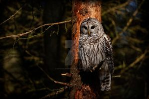 Barred Owl in Pine Tree by MichaelsPhotography