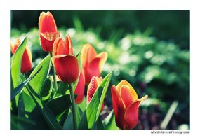 April Tulip II by MCG0603