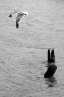 Seagull and Pilings by icreatedesigns