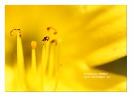 Yellow Lilly - Closeup by Karl-B