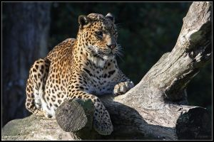 Male Sri Lankan Leopard by cycoze
