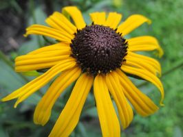 Black-Eyed Susan by EbolaBears