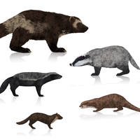 How to draw wolverines, badgers, otters and marten by LadyAway