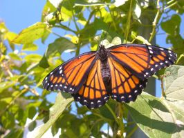 Viceroy Butterfly by clarinetplayer