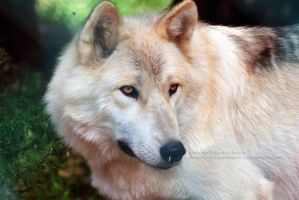 Cheyenne, Forest Wolf by 8TwilightAngel8