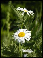 Daisies by BJM121