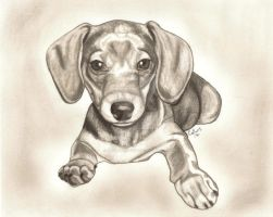 dachshund puppy by FlyingFancy1