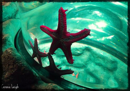 London Aquarium Starfish by CerenaLeigh