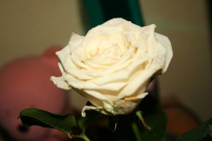 white rose 02 by lostwinterborn-stock