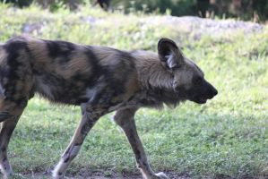 00210 - Wild Dog Profile by emstock
