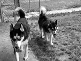 Shelter Dog XIII: Sled Dogs by Sylvrewolfe