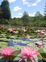 Lily Pond2 by SheTazzie