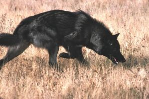 another black wolf by CallistoTheWolf