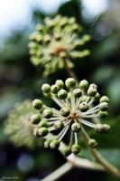 Japonica Fatsia by George---Kirk