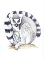Ring-Talied Lemur by silvercrossfox